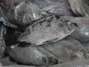 Wholesale frozen tilapia fish: Offer Denmark Frozen Black Tilapia Fish Gutted and Scaled (Oreochromis Niloticus) for Sale