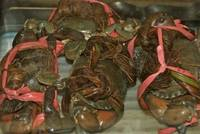 Sell Live Mud Crabs , Red King Crabs , Soft Shell Crabs , Blue Crab  Blue Crabs