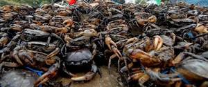 Wholesale Fresh Food: Fresh Frozen and Live Mud Crabs , Red King Crabs , Soft Shell Crabs , Blue Crab and Blue Crabs