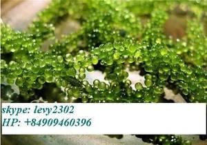 Wholesale dried seaweed: Dried Seaweed Seagrape