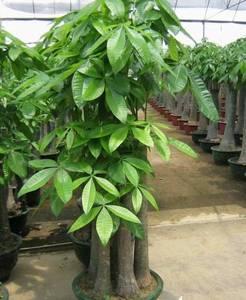 Wholesale House Plants: Pachira Macrocarpa