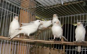 Wholesale finch birds: Live Birds,Canary Birds,Finches, Yorkshire, Lancashire, Love Birds