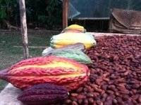Wholesale beverage: Cocoa Bean (Best Quality) Available for Supply