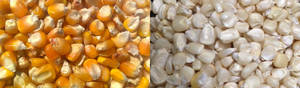 Wholesale Corn: White and Yellow Corn Maize