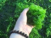 New Crop of Pure Green Seaweed Powder (Ulva Lactuca) 2017 - Amy 841683655628