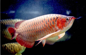 Wholesale Pet & Products: Asian Red, Super Red, RTG, Chili Red for Sale....