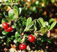 Bearberry Leaf Extract Arbutin