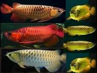 Wholesale fresh water pearl: Super Red Arowana Fish