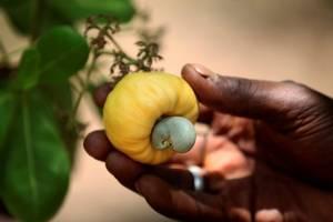 Wholesale crispy: Tanzania Factory Supply Wholesale Sweet Crispy Cashew Nut Kernels