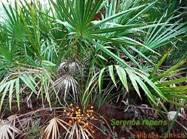 Wholesale male enhancement products: Saw Palmetto Extract New Produced Manufacturer Price Felix@scqqbio.Com