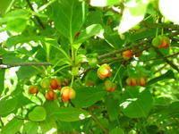 Schisandra Chinensis Extract New Produced Manufacturer Price Felix@Scqqbio.Com