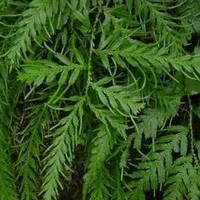 Selaginella Tamariscina Extract
