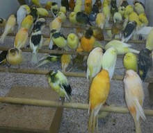 Wholesale canary birds: All Live Canary Birds; Finches, Yorkshire, Lancashire, Lovebirds,Parrotlets