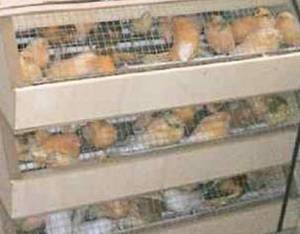 Wholesale canary birds: Canary Birds,Finch Birds and Small Birds
