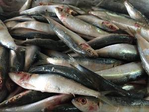 Wholesale fish oil: Canned Fish Sardines Frozen Sardines Fish Indian Oil Sardine