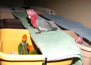 Wholesale military: 100% Tested Fertile Parrot Eggs