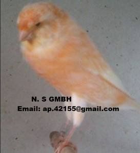 Wholesale canary birds: Stafford Canary,Spanish Timbrado Canary,Yorkshire Canary - Lancashire Canary Birds
