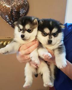 Wholesale Pet & Products: Beautiful Tiny Fluffy Pomsky Puppies