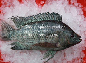Wholesale frozen tilapia fish: Aquatic Fish Frozen Black Tilapia Whole Round