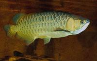 Sell Golden Arowana Asian Arowana Red Arowana Fish For Sale