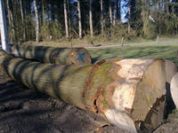 Sell red oak logs