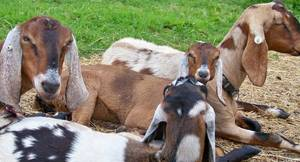 Wholesale chocolate: 100% Full Blood Goats, Live Sheep, Cattle, Lambs Ready for Export