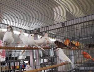 Wholesale finch birds: Yorkshire Canary Birds, Finches, Lovebirds, Lancashire Canary