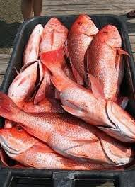 Wholesale frozen tilapia fish: Frozen Black Tilapia/Red Tilapia Fish Whole Round