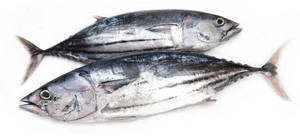 Wholesale pc: Skipjack Tuna Whole Round