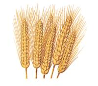 Wheat with High Gluten and Protein (WBTC0141)