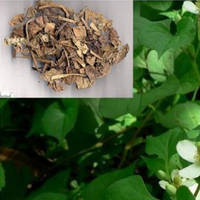 Heartleaf Houttuynia Herb Extract 10:1