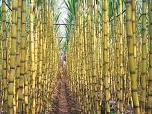 Wholesale fresh sugar cane: Top Quality Sugar Kane for Juice  and Suger Product
