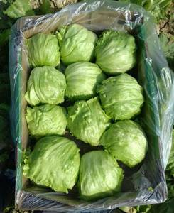 Wholesale sea lettuce: Iceberg Lettuce