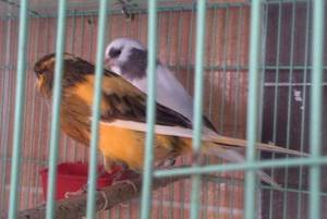 Wholesale canary birds: Finches,Canary Birds,Yorkshire Canary Birds,Lancashire Canary