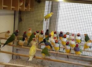Wholesale finch birds: Finches, Exotic Birds,Goldfinches,Lady Gouldian Finches