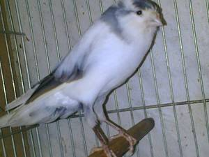 Wholesale finch birds: Birds,Goldfinches,Lady Gouldian Finches,Live Canary Birds,Finches,   Yorkshire,Lancashire