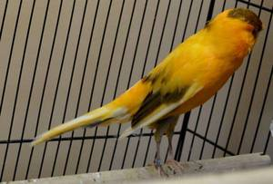 Wholesale canary birds: All Finches, Live Canary Birds Yorkshire, Lancashire, Love Birds Crested Canary Birds