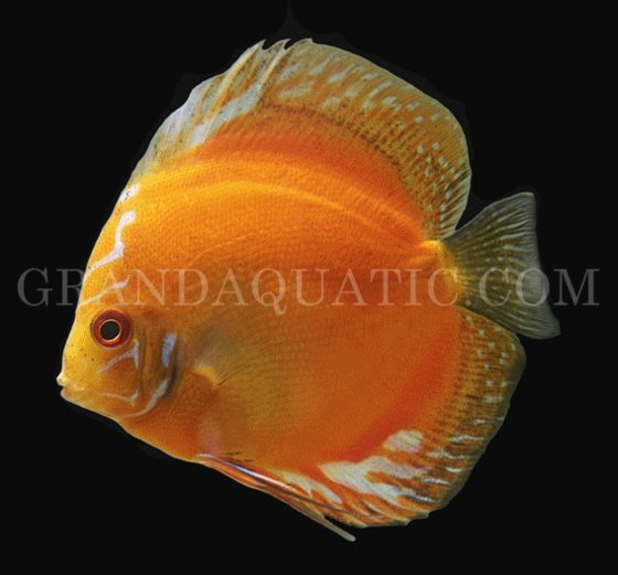 Tropical fish for sale discus fish id 4566614 product for Tropical fish for sale online