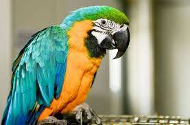 Wholesale military: Live Birds,Blue and Gold Macaw Parrots,African Grey Parrots and Eggs
