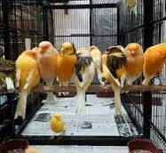 Wholesale canary birds: Finch Birds,Colorful Finches,Yorkshire Canary Birds, Lancashire Exotic Birds,Yorkshire Canary
