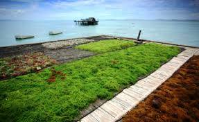 Wholesale seaweed salad: Dried Eucheuma Spinosum Seaweed