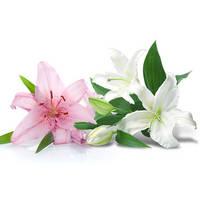Queen of Flower Lily Korea Jeju