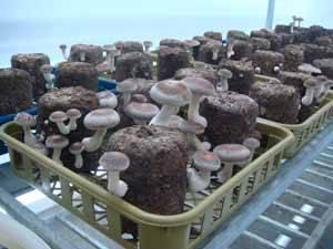 how to prepare dried monkey head mushroom