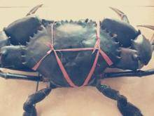 Wholesale sell: Sell Live Green Mud Crab
