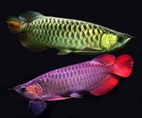 Sell Quality Super Red Arowana Fishes For Sale