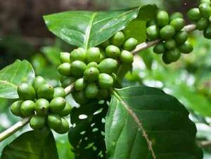 Wholesale green coffee bean extract: Green Coffee Bean Extract ( Chlorogenic Acids 50-60% )