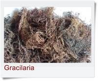 Dried Gracilaria Seaweed
