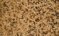 Sell High Quality Canary Seed