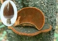 Shiitake Mushroom Tea Bag, Lentinus Edodes Extract