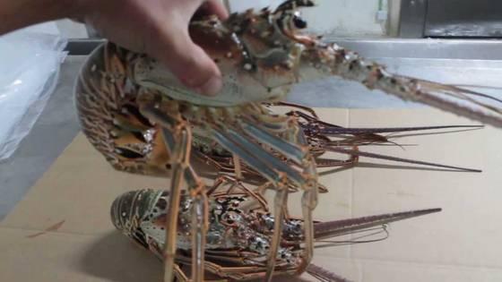 air fresh: Sell  Fresh Live Lobsters